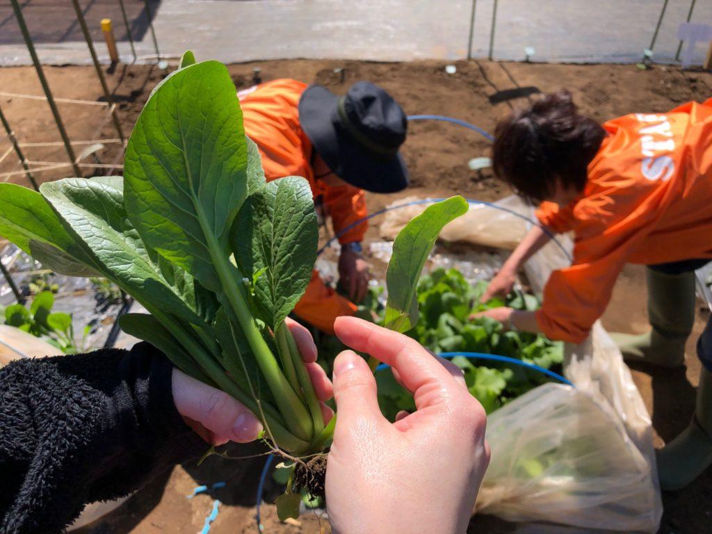 シェア畑で採れた有機小松菜