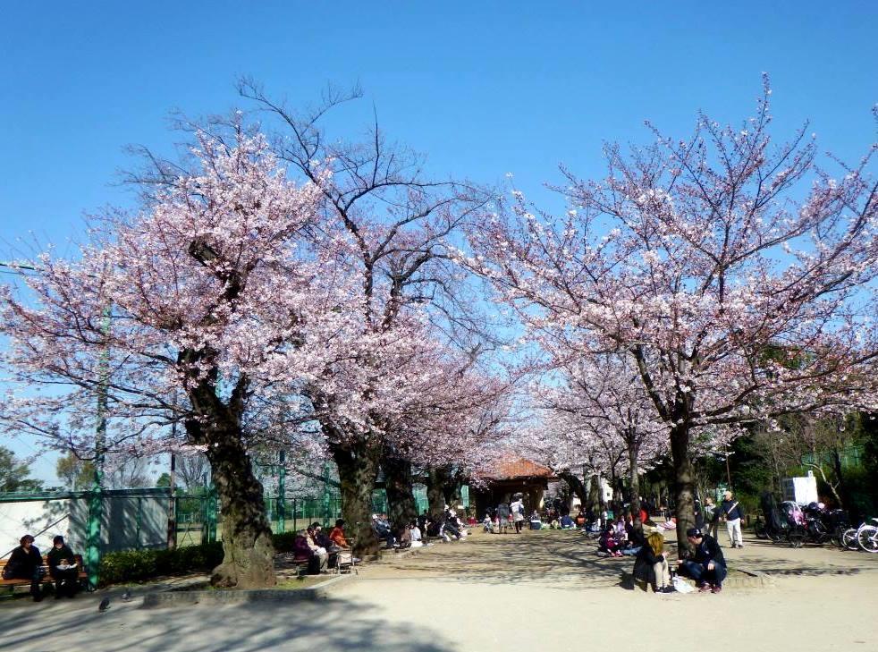 羽根木公園の桜