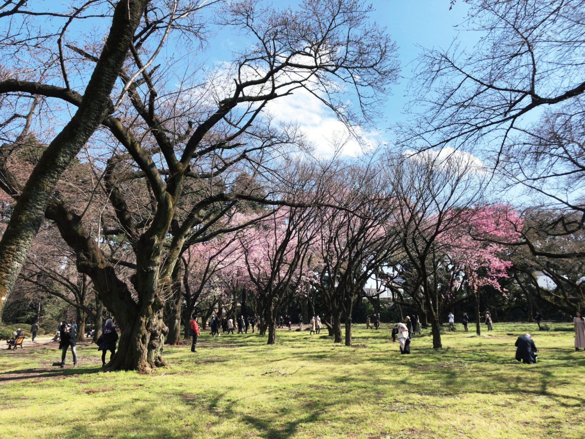 【新宿御苑】の桜園地