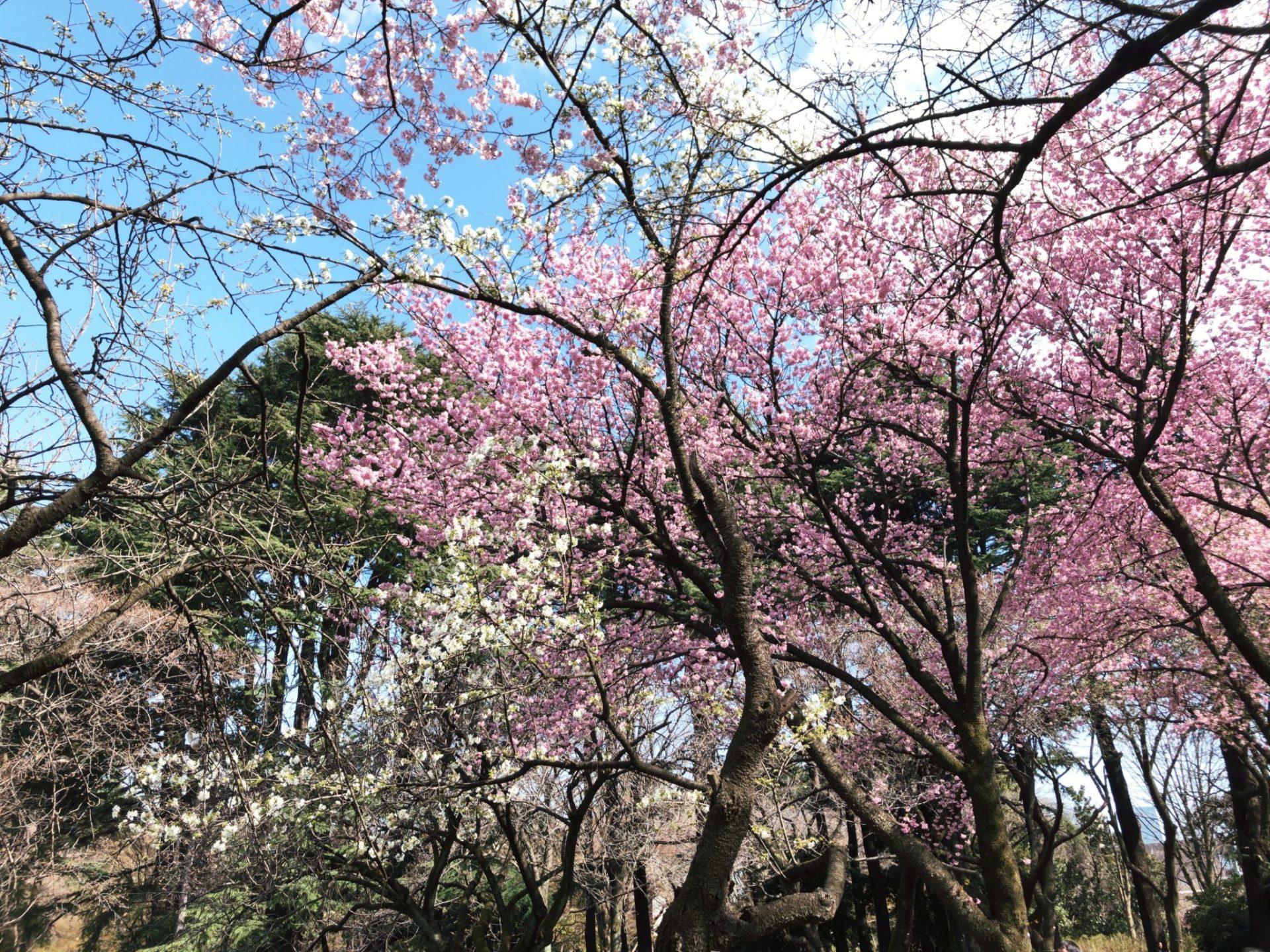 【新宿御苑】お花見のはな