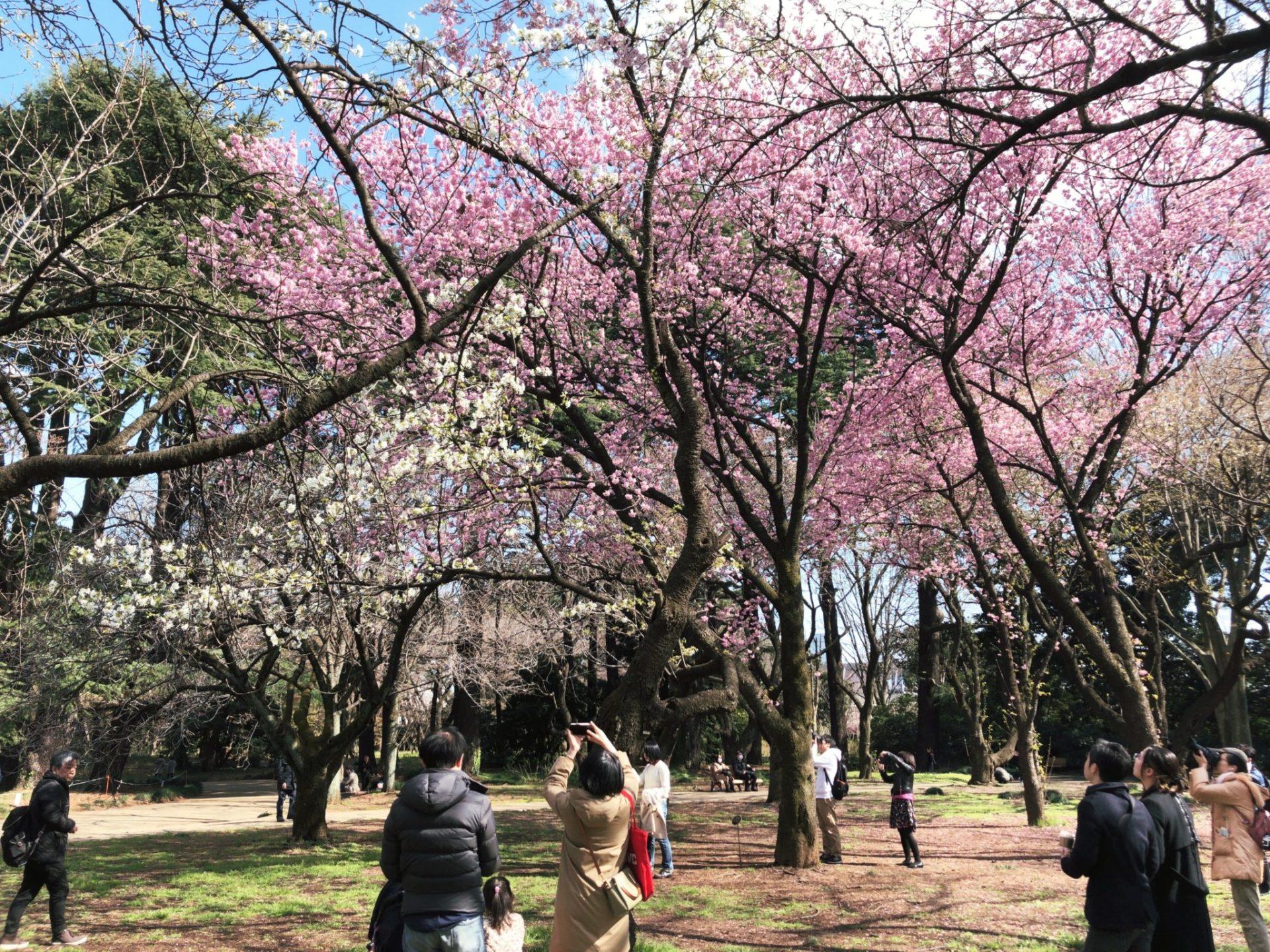 【新宿御苑】お花見の桜を写真撮影する人