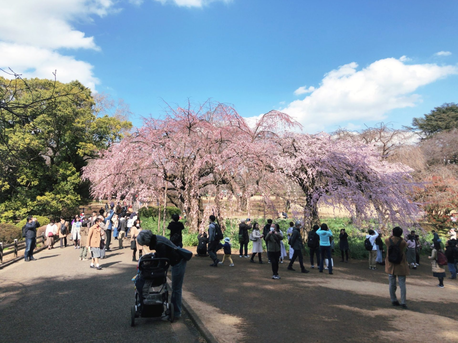 【新宿御苑】お花見の桜