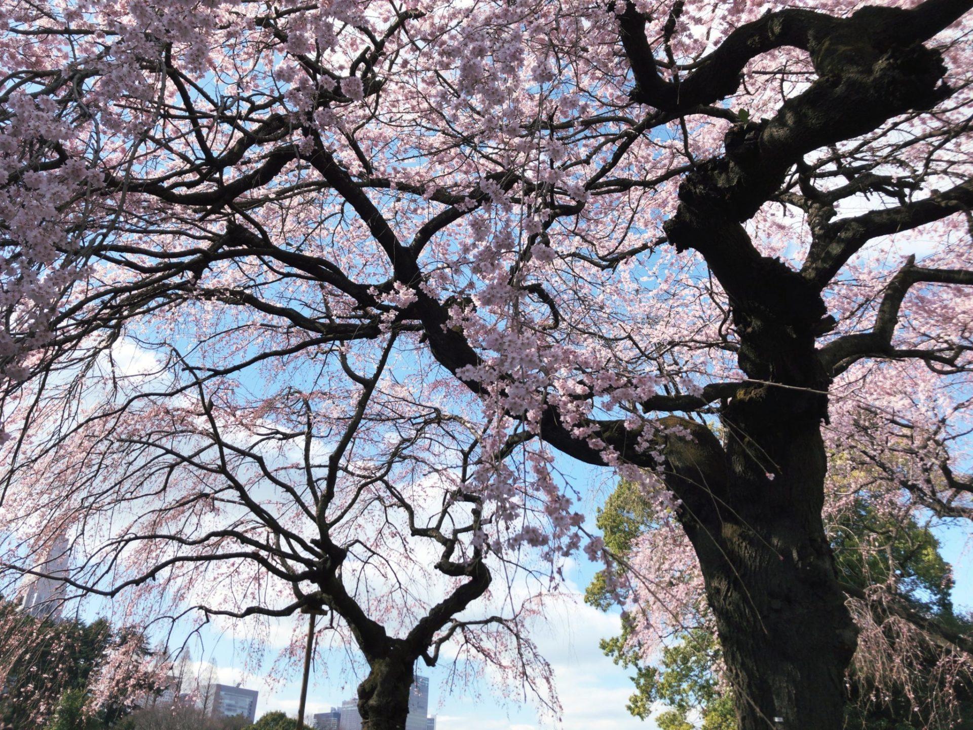 【新宿御苑】お花見のシダレザクラ