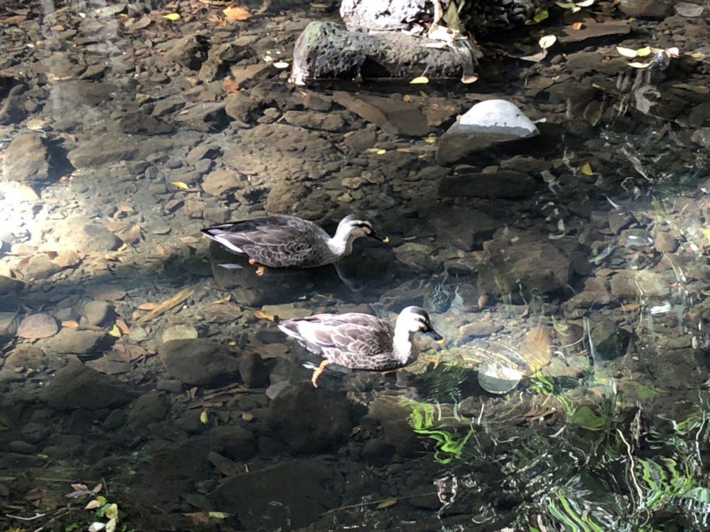 等々力渓谷を泳ぐ鴨