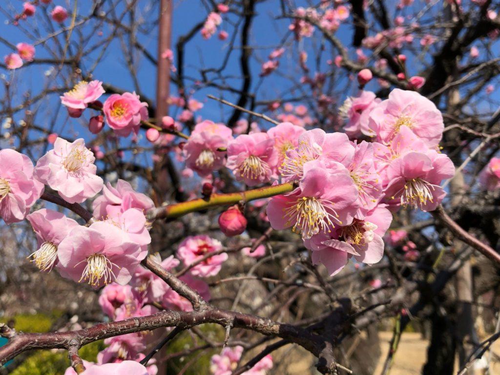 羽根木公園 梅ヶ丘の梅林
