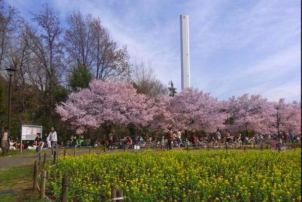 芦花公園(蘆花恒春園)のタカトオコヒガンザクラ(お花見)