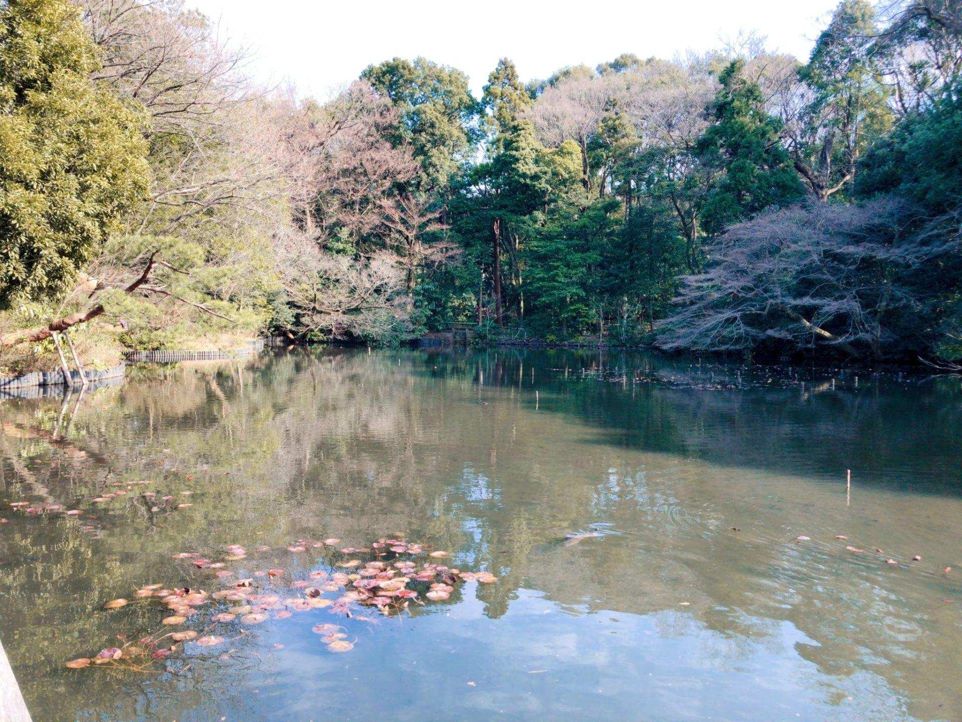 明治神宮御苑の池には鯉がいる