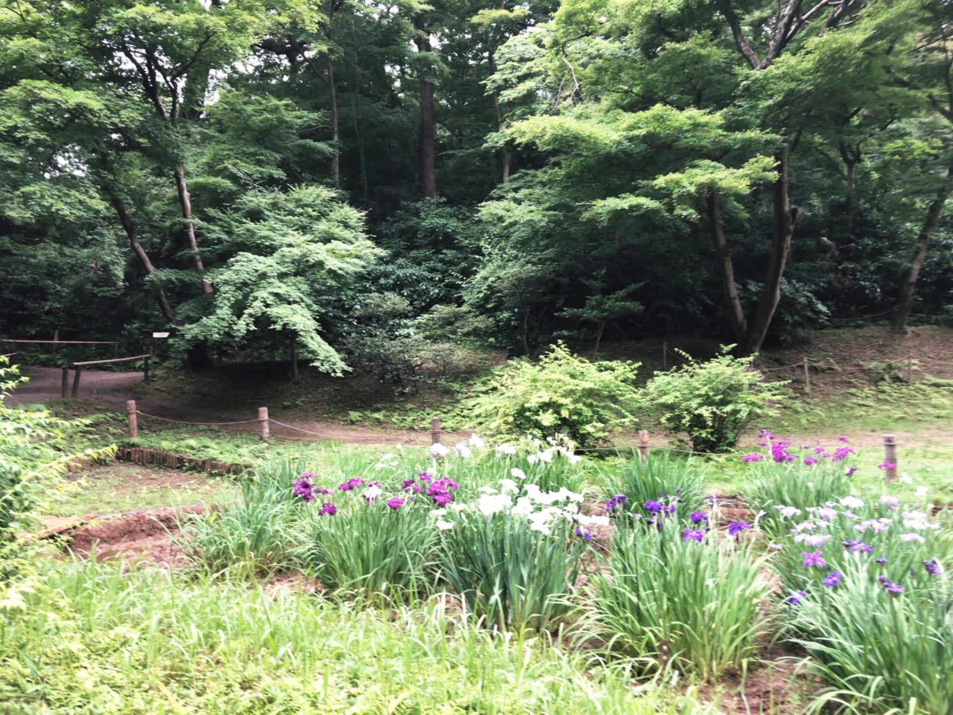 明治神宮御苑の菖蒲園(6月中旬撮影)